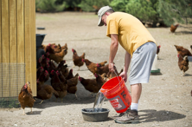 Prairie Pride Poultry - watering chickens